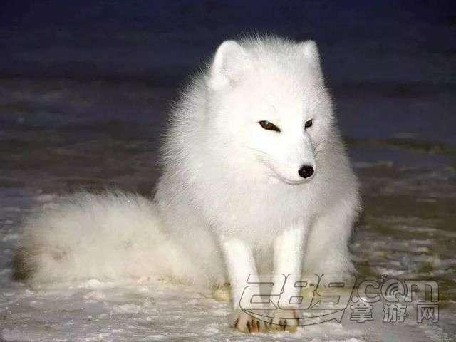 美女帅哥的忠实代言人 浅谈日本的狐狸文化