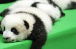 熊猫瘫表情包v1.图片